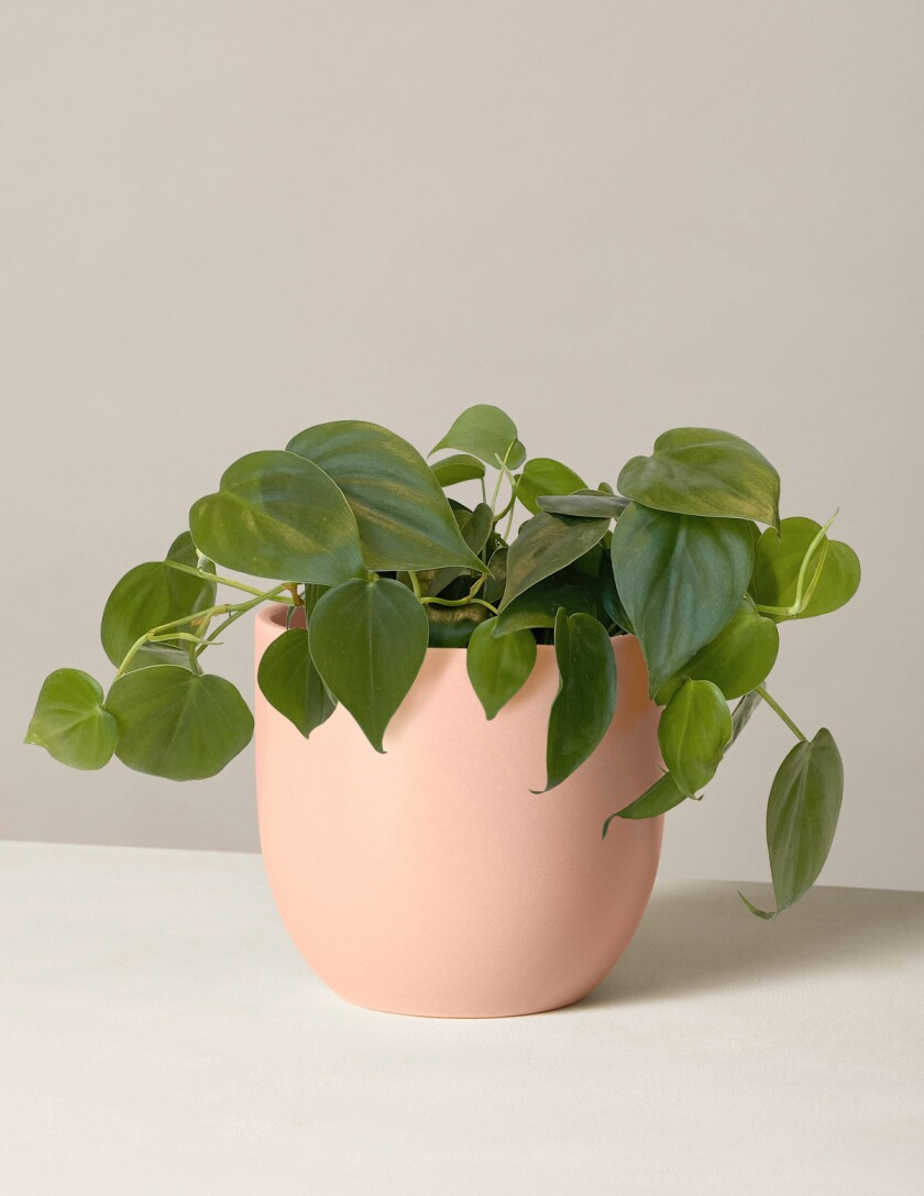 Heartleaf philodendron, Philodendron hederaceum