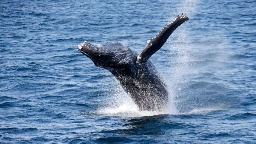 FILE - In this Aug. 1, 2016, file photo, a whale breaches close to the Harbor Breeze Cruises La Espa