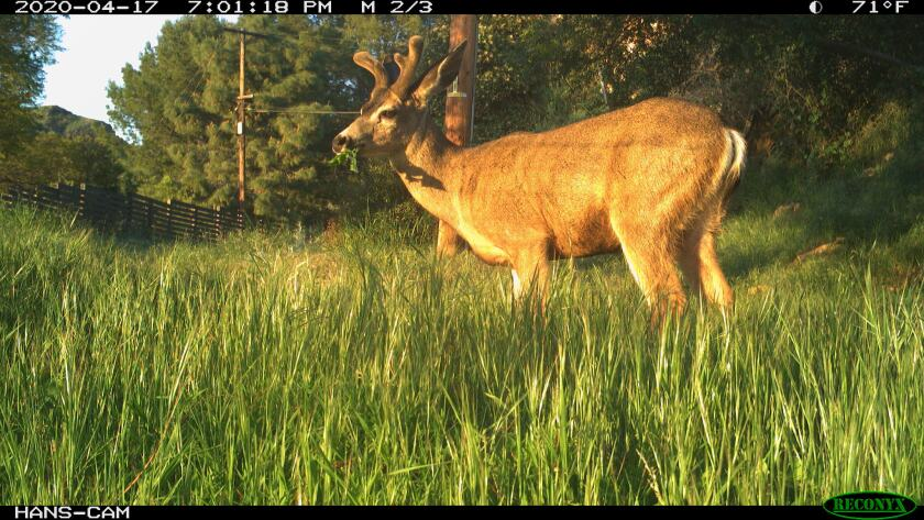 Image of a deer captured on April 17, 2020 from a remote camera just outside the boundary to Griffith Park.