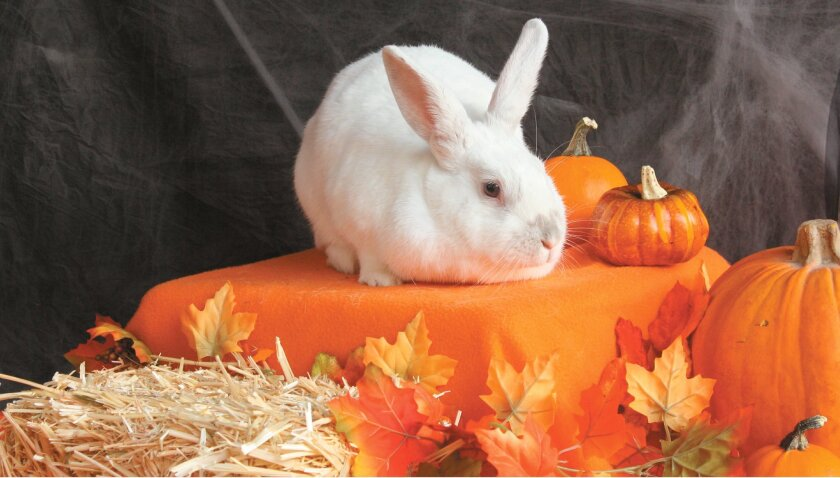 """Snoopy, the official """"house bunny"""" of Wee Companions' adoption center, poses for his holiday portrait for Wee Companions' fall harvest photo contest."""