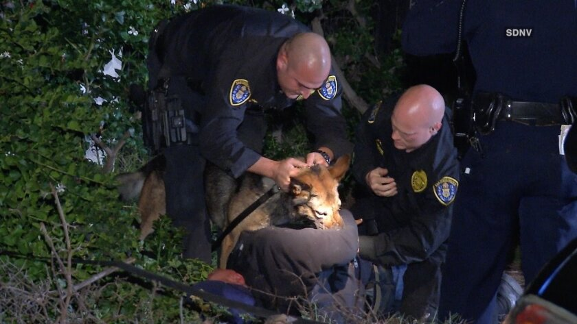 A car theft is bitten by a San Diego police canine Wednesday night in Chula Vista.