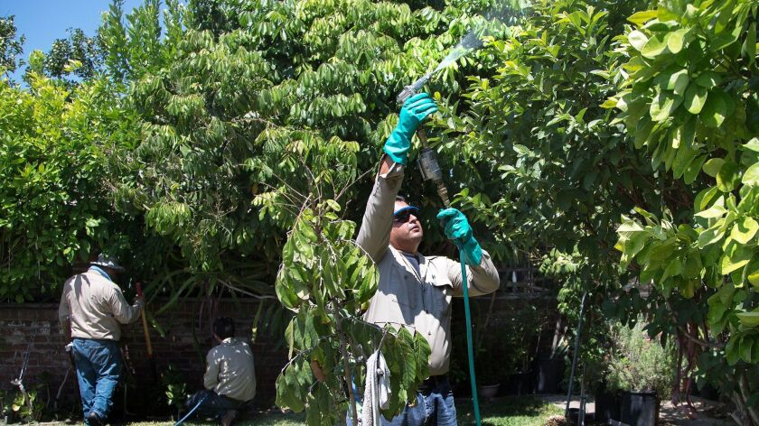 State agricultural officials no longer can spray public and private property to combat insects, such as the Asian citrus psyllid in these backyard trees in San Gabriel, where an outbreak of citrus greening disease, or HLB occurred in 2015.