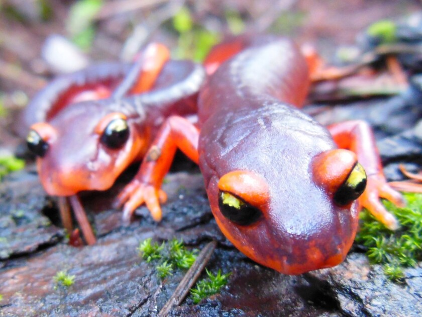 The Ensatina salamander is a lungless salamander common along the West Coast of the U.S. Scientists in California say it is one of the species of salamanders in North America threatened by a newly recognized infectious fungus.