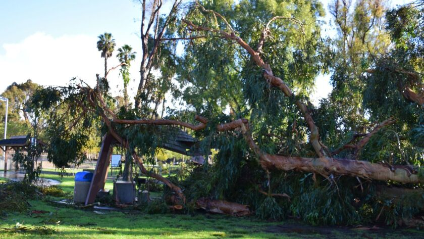 Late January storms claim several trees in Chula Vista. This one is in Rohr Park.