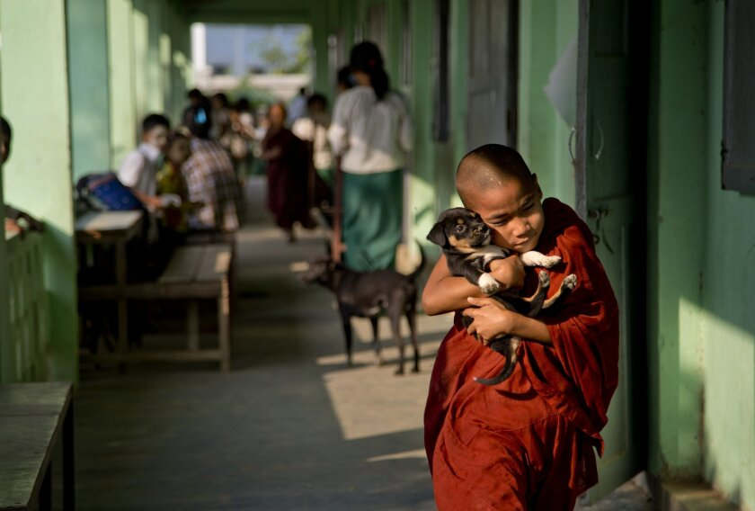 A novice Buddhist monk walks with a puppy dog at a monastic school in the suburbs of Yangon, Myanmar, Thursday, Feb. 18, 2016. Public education in Myanmar is in crisis, with crumbling schools, ill-trained teachers and many families unable to afford books, uniforms and other expenses. So schooling i