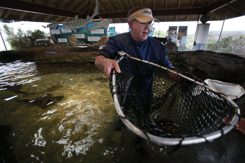 Veterinarian Brian Joseph, director of the Living Coast Discovery Center in Chula Vista, nets a round stingray at one of the educational exhibits on a recent Tuesday. He and his wife, Sally Joseph, were de-barbing the creatures. Peggy Peattie • U-T