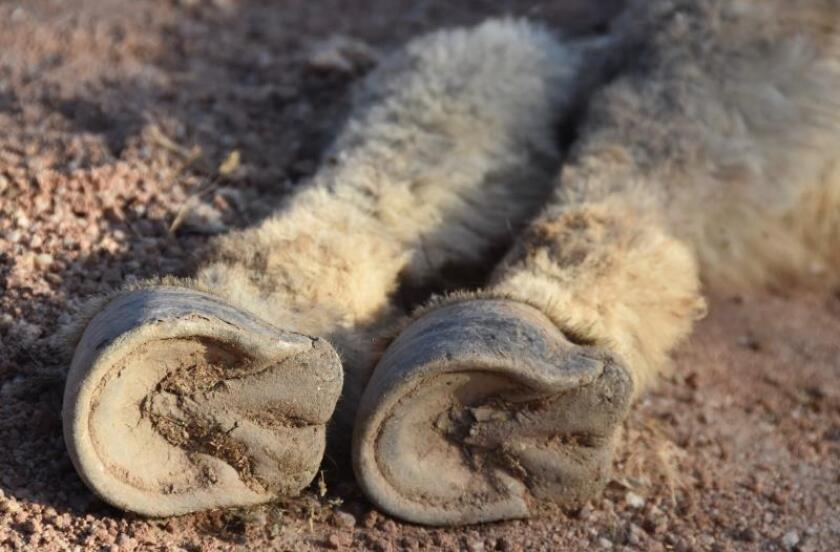 Detalle de las pezuñas de un burro salvaje muerto, el 1 de septiembre de 2019, en el área de Halloran Springs, en el desierto de Mojave, California (Estados Unidos).. EFE/Iván Mejía