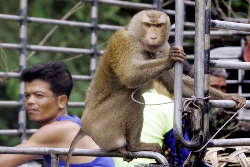 A monkey joins other workers as they ride to a coconut plantation in southern Thailand in 2006.