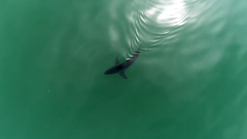A juvenile white shark swims near the surface off the coast of Carpinteria, CA
