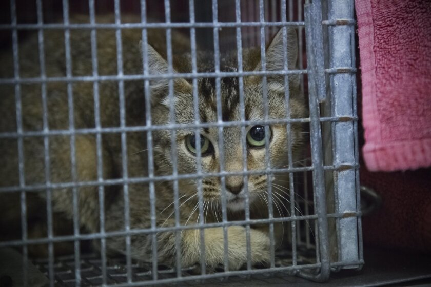 Feral cats are dropped off in traps at the El Cajon spay and neuter clinic for feral cats.  For safety reasons the cats stay in the trap until the anesthesia takes affect.  Dozens are cats are dropped off at the clinic once a week where they are spayed and neutered by a veterinarian.  The cats wi
