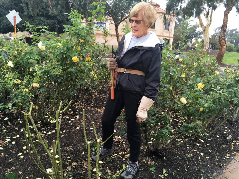 A Primer For Pruning Roses The San Diego Union Tribune