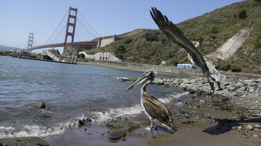 A pair of brown pelicans head for San Francisco Bay after being released at Fort Baker with the Gold