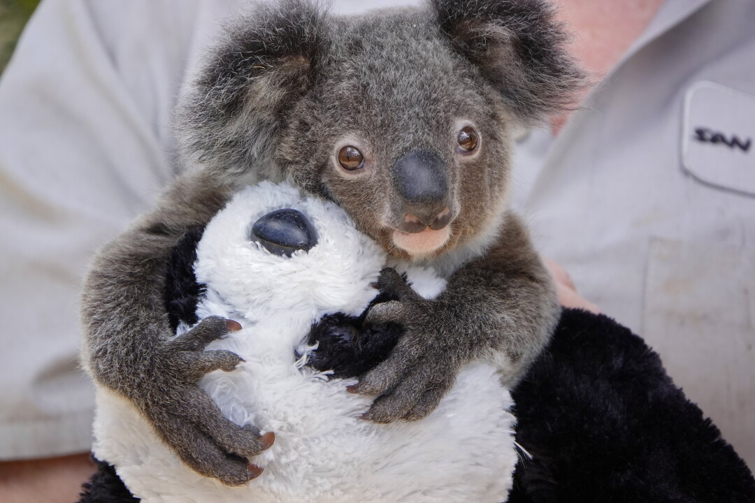 Jennifer Roesler, a wildlife care specialist, holds Omeo, a koala joey, as he holds onto a stuffed panda bear at the San Diego Zoo on May 19, 2020.