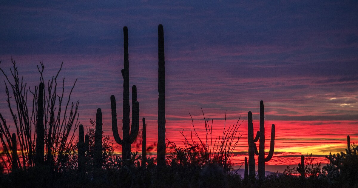 It's illegal to destroy saguaro cactuses. So why are they being removed for Trump's border wall?