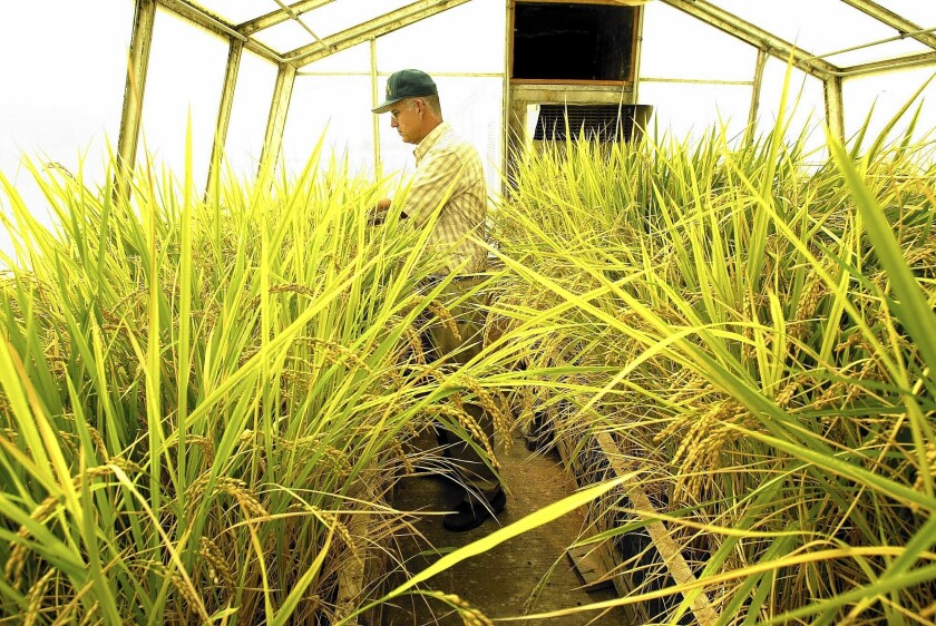 The bill that would require labeling of genetically engineered bulk and packaged foods beginning in 2016 will go the state Senate Rules Committee and perhaps the Agriculture Committee. Above, Kent McKenzie, director of the Rice Experiment Station in Biggs, Calif., inside a greenhouse with a rice variety to be resistant to cold temperatures.