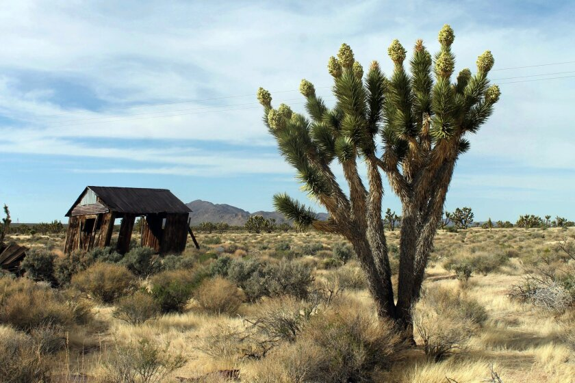 FILE - In this April 6, 2013, file photo, Joshua trees display unusually abundant booms in the Cima Dome area of the Mojave National Preserve. President Barack Obama is granting national monument status to nearly 1.8 million acres of scenic California desert wilderness, including land that would co