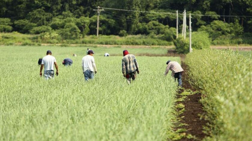 Laborers hand-weed an onion field in Elba, N.Y., in 2012.