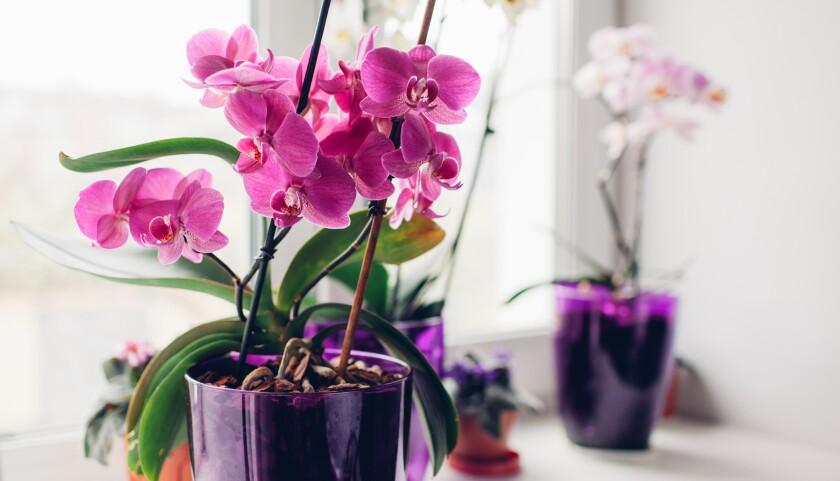Purple orchid on windowsill. Home plants