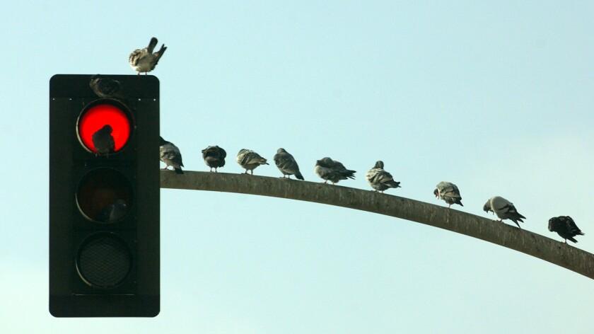 Pigeons relax on a Laguna Beach traffic light.