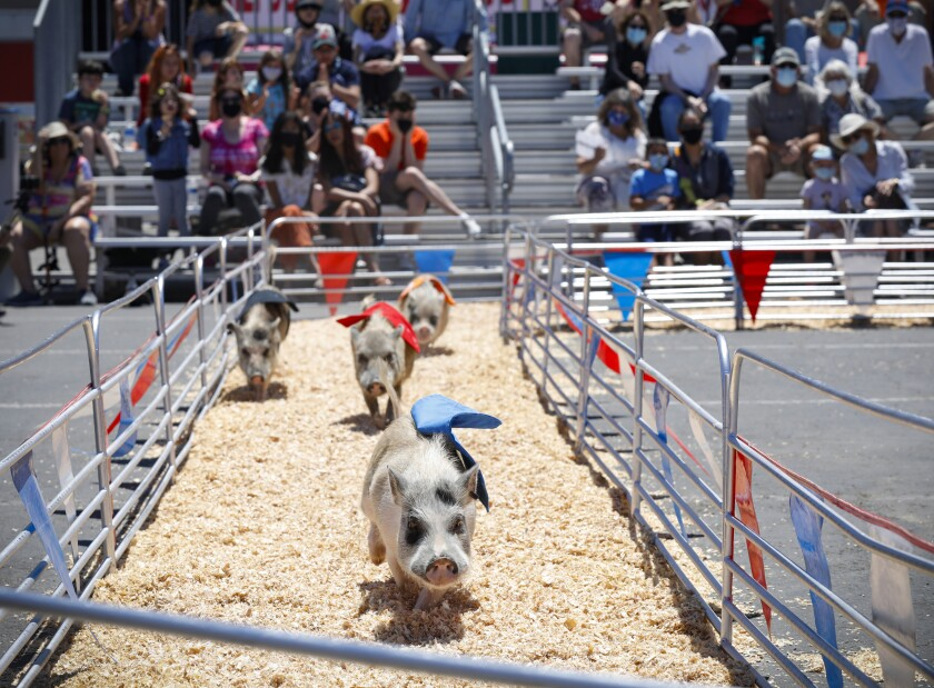 Swifty Swine Racing Pigs are a center stage attraction at this year's HomeGrownFun