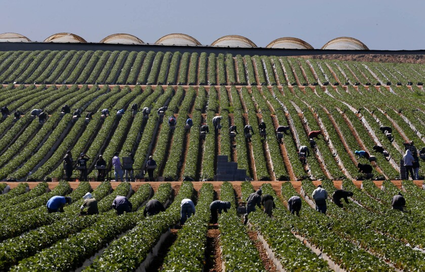 Farmworkers harvest strawberries in Vicente Guerrero, Baja California, on March 25.