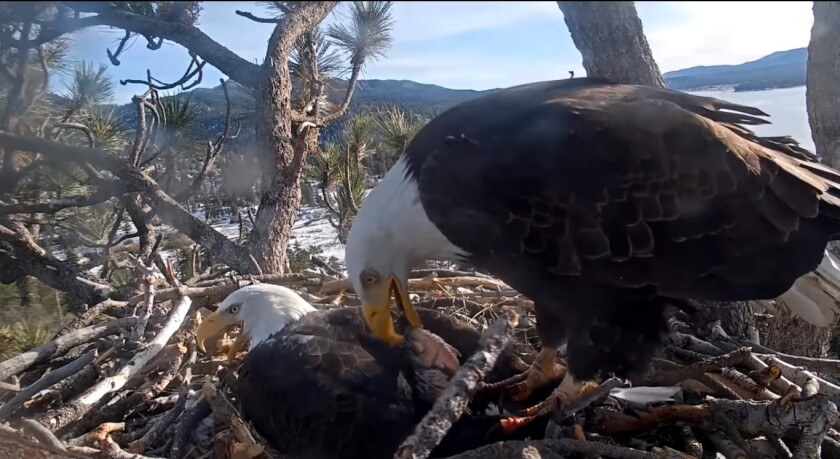 Big Bear Lake's resident bald eagles Jackie and Shadow are clearly here for the right reasons.