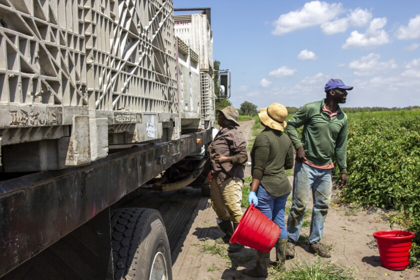 In this March 24, 2021 photo, farmworkers load a truck with tomatoes harvested at a farm in Delray Beach, Fla. Many U.S. health centers that serve agricultural workers across the nation are receiving COVID-19 vaccine directly from the federal government in a program created by the Biden administration. But in some states, farmworkers are not yet in the priority groups authorized to receive the shots. (AP Photo/Cody Jackson)