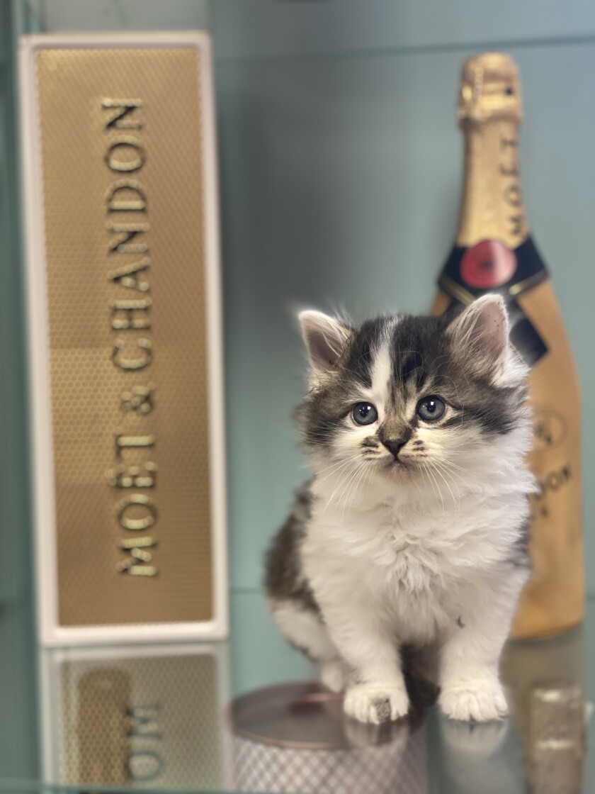 Kittens and champagne are the attractions at Cat Palace in Pacific Beach.