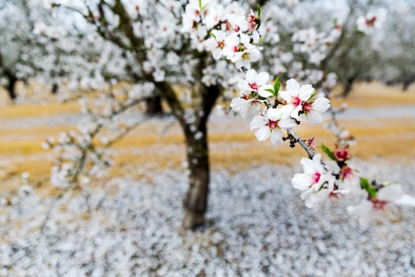 Almond tree in full bloom in Modesto
