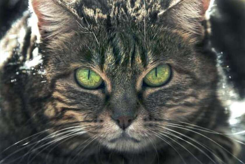 Feral cats killing endangered Hawaiian birds, study finds