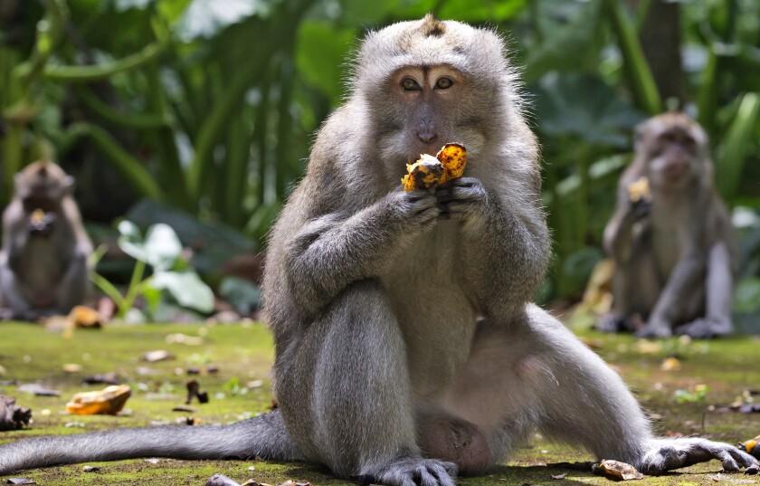 Macaques eat bananas outside.