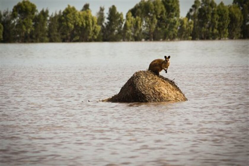 A wallaby stands on a large round hay bail trapped by rising flood waters outside the town of Dalby in Queensland, Australia Thursday, Dec. 30, 2010. Days of torrential downpours have left parts of central and southern Queensland state inundated, flooding thousands of homes and businesses, cutting off roads and forcing the entire populations of two towns to evacuate. (AP Photo/Anthony Skerman)