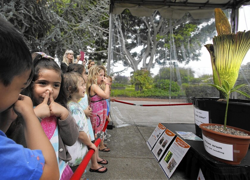 Youngsters hold their noses as they observe a rare titan arum, or corpse flower, now blooming at Orange Coast College in Costa Mesa. The 11-year-old corpse flower is expected be fully open Wednesday and to last for about 36 hours before fading.