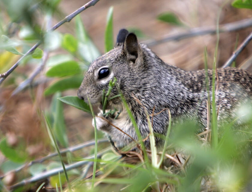 Chipmunks and squirrels can carry plague, health officials warn