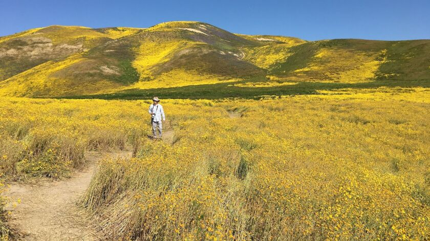 You can walk into the scenery at Carrizo Plain, which is in the midst of a super-bloom.