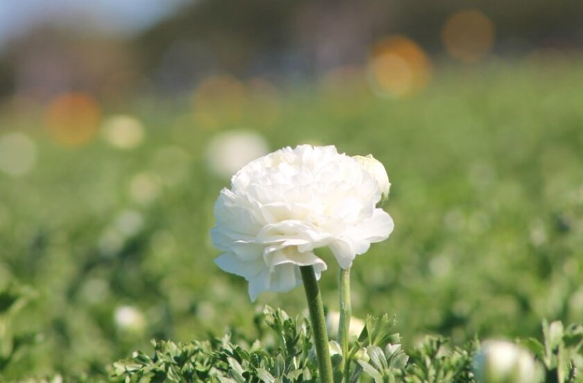 There were comparatively few flowers in bloom Friday at The Flower Fields in Carlsbad.