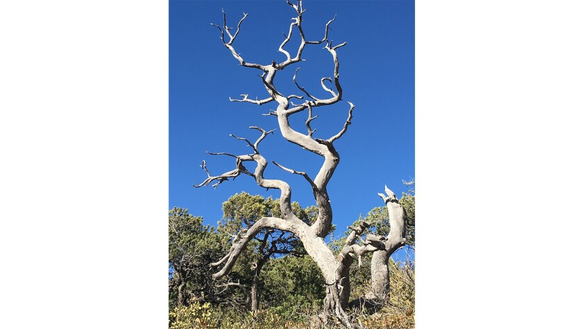 A dead alligator juniper tree in southeastern Arizona. The species is one of hundreds around the world that have gone extinct in the places where they lived for years.