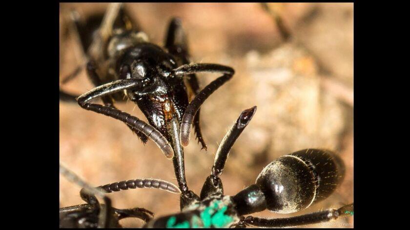Una hormiga Matabele trata las heridas de un compañero de nido cuyas extremidades fueron mordidas durante una pelea con soldados de termitas. (Erik T. Frank)