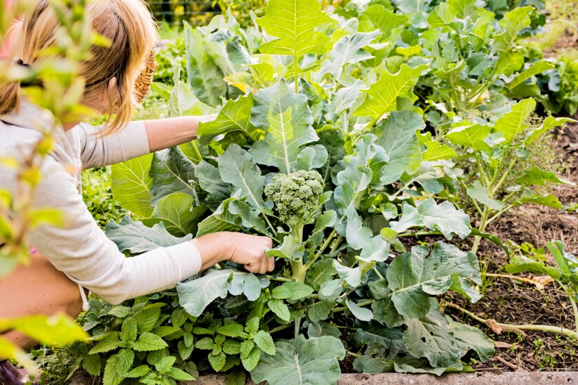 There's still time to get a crop of broccoli if you plant it  right away. You can start planting beans now, too.