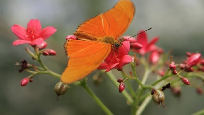 San Diego Zoo's Safari Park opens its popular Butterfly Jungle this weekend — a springtime-only event that lets visitors wander among thousands of colorful butterflies.