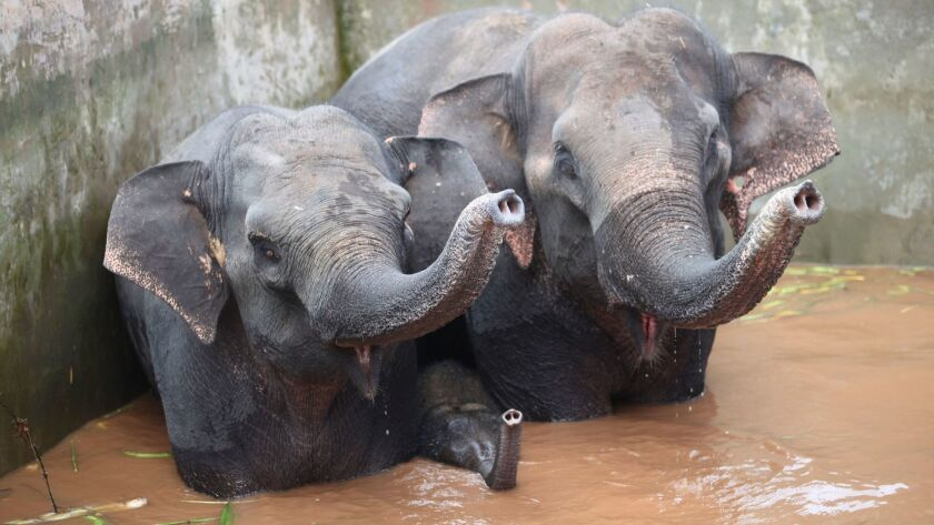 This picture taken on October 12, 2016 shows two elephants and a baby elephant trapped in a reservoir in Xishuangbanna, Yunnan province.