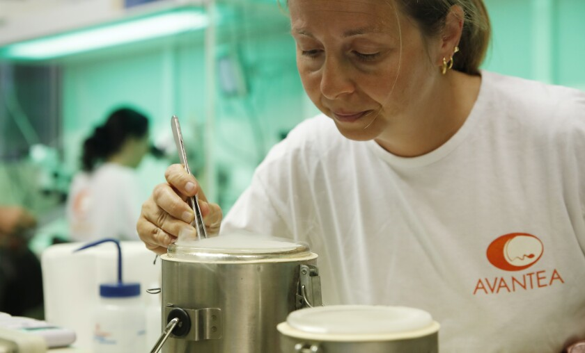 A researcher works on the insemination process.