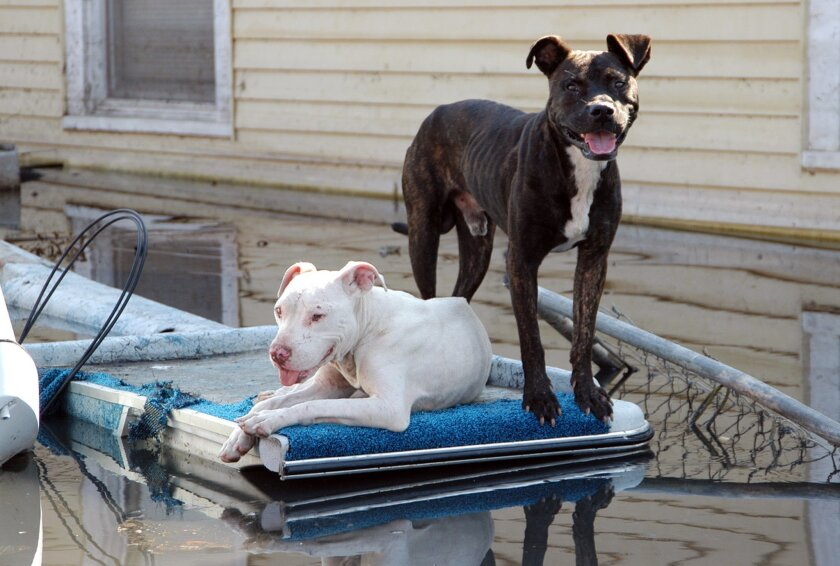 In this Sept. 5, 2005 photo, New Orleans dogs are perched on the edge of boat parked in a driveway on its trailer almost completely underwater after Hurricane Katrina. Since the storm struck on Aug. 29, 2005, emergency responders have received training on how to better catalog rescued animals. (Troy Snow/Best Friends Animal Society via AP)