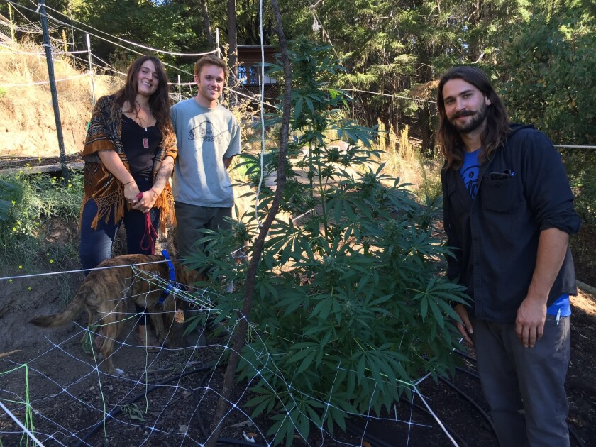 Johanna Mortz with Micah Flause, left, and her brother Andrew Mortz at their Mendocino County marijuana farm, PolyKulture.