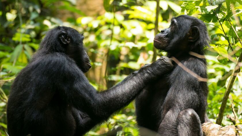 Ten, left, a 45-year-old bonobo, grooms JD in the Democratic Republic of Congo's Luo Scientific Reserve. Ten needs 40 to 45 centimeters between his fingers and eyes to focus for grooming.