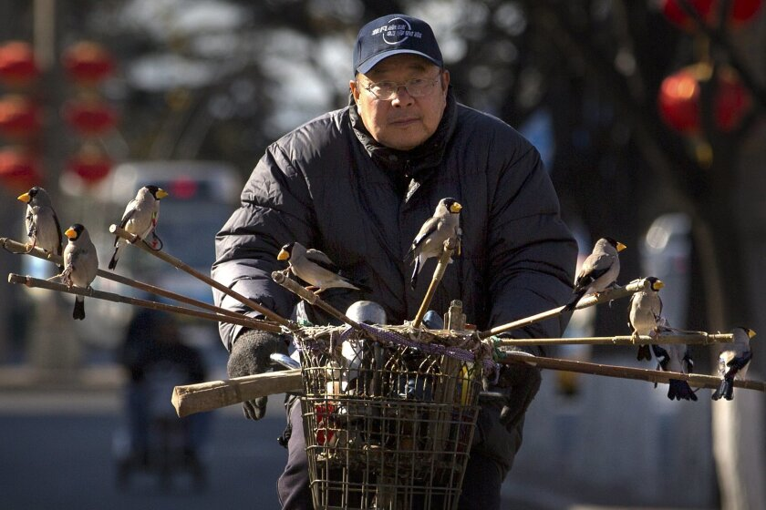 A man rides a bicycle while carrying finches on poles in Beijing, Tuesday, Feb. 16, 2016. Songbirds are a popular and traditional pet in China, especially among the older generations. (AP Photo/Mark Schiefelbein)