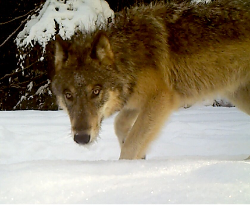 A gray wolf near Chewelah, Wash.