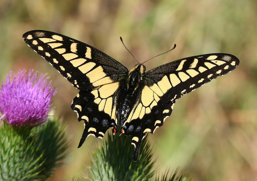 Planting anise, carrots and dill will attract swallowtail butterflies.
