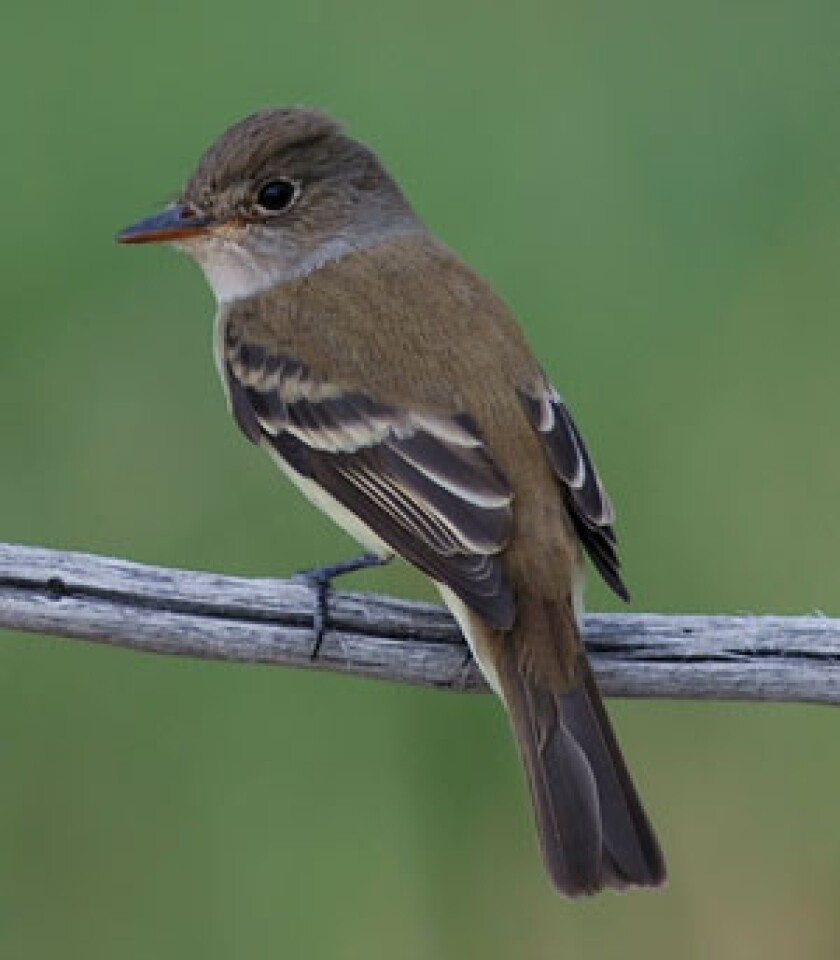 The lawsuit says the U.S. Department of Agriculture failed to safeguard the southwestern willow flycatcher from the effects of the release of beetles imported from central Asia to eradicate tamarisk trees.