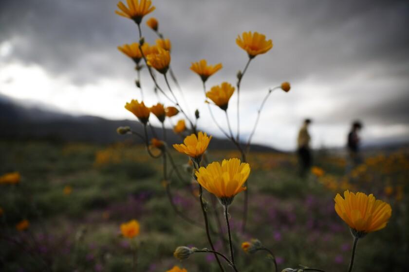 Desert Super Bloom